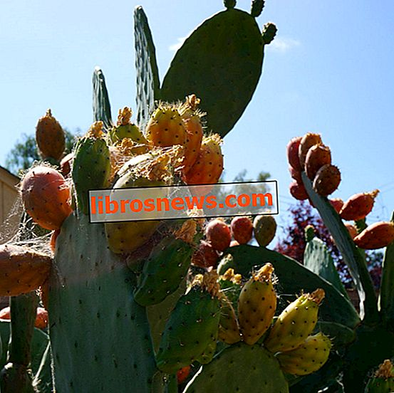 Cara Makan Pir Berduri, Buah Aka Cactus, Aka Tunas