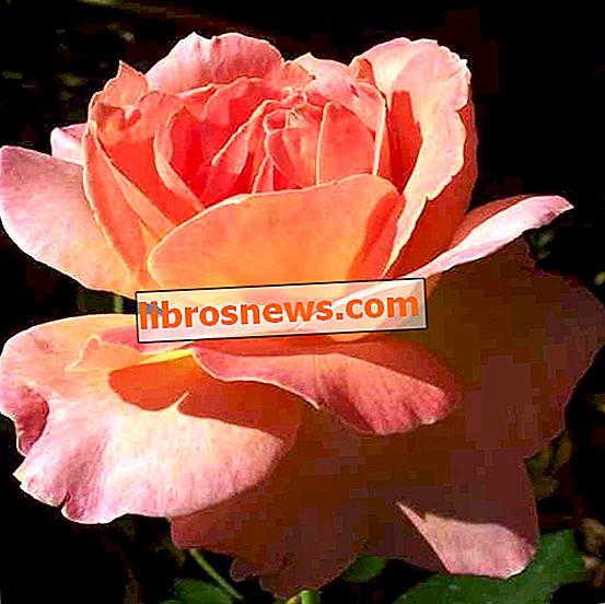 COME Propagare le talee di stelo di rosa