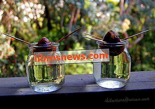 Cultivo de plantas de aguacate a partir de semillas
