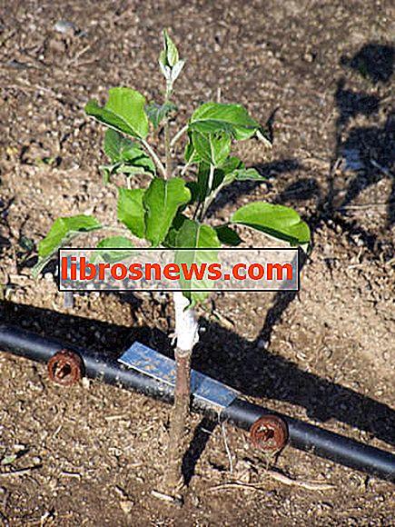 Tumbuh Pokok Apple Dari Benih.